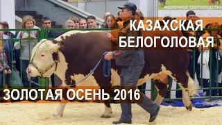 Быки породы Казахская белоголовая. Выставка Золотая осень 2016