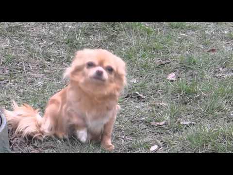 Chihuahua kennel SLihobor Line