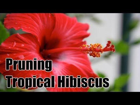 Pruning And Maintaining Tropical Hibiscus