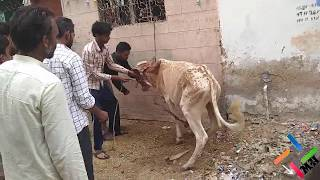 Cow Qurbani | Cow Sacrifice| Dangerous | Bakra Eid | Karachi | Eid-ul-Adha | 2018 | MH