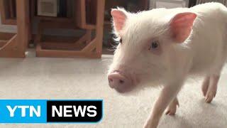 日 똑똑하고 귀여운 '마이크로 돼지'가 뜬다 ! / YTN