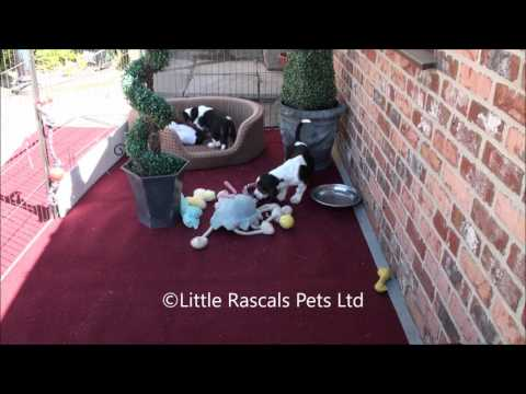 Little Rascals Uk breeders New litter of Basset Hound Puppies