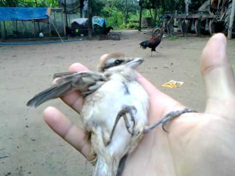 Thả chim bách thanh