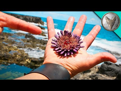 Thumbnail: SPIKED by a Sea Urchin?