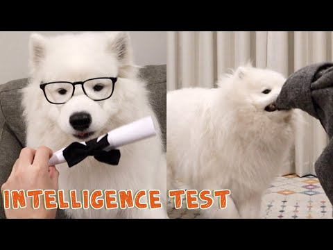 How Smart Is My Samoyed Dog? Intelligence Test | Maximus The Cloud
