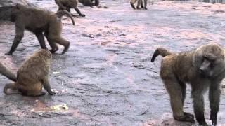 群れで生活するアヌビスヒヒたちには、いろいろなルールがあります。