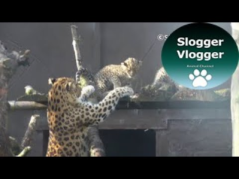 Amur Leopard Mum Doesn't Want Cub To Climb