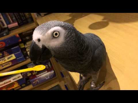 Congo African Grey parrot eating palm oil in slow motion