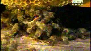 蜜蜂如何對抗大黃蜂