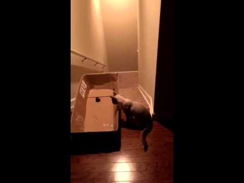 Guy tricks cat into sliding down stairs in box | ORIGINAL