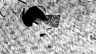 Amphiprioninae (Clownfish) Predating Bestiolina Copepod (Original)