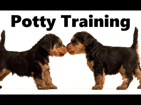 How To Potty Train A Welsh Terrier Puppy - Welsh Terrier House Training Tips - Welsh Terrier Puppies