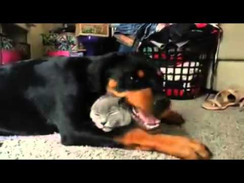 Rottweiler VS Cat