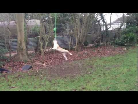 Crazy Dog swinging on rope