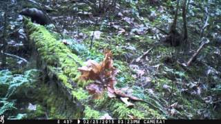 Pacific fisher in the Siskiyou Mountains (Video 2)