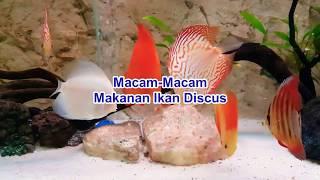 Macam-Macam Makanan Ikan Discus