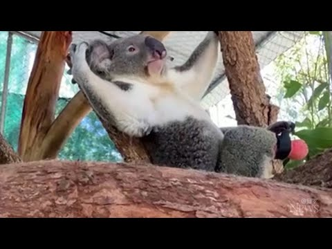 This koala receives prosthetic foot from... a dentist