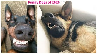 Cute Baby Dogs Doing Funny Things - Most funny dogs of 2020 - Part 9