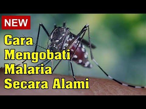 cara-mengobati-malaria-secara-alami
