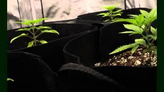 Marijuana Growth Timelapse