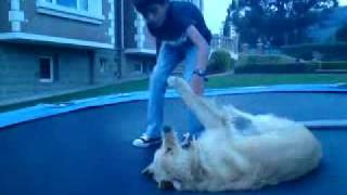Golden Retriever Attacking A Kid