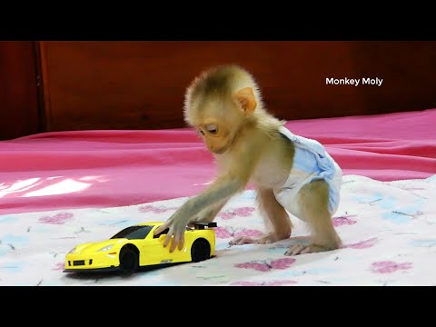 Cutest Monkey Moly With Super Sport Toy Car, Moly Like Toy C