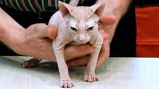 Кошки. Породы Кошек. Донской Сфинкс. Кошка Сфинкс