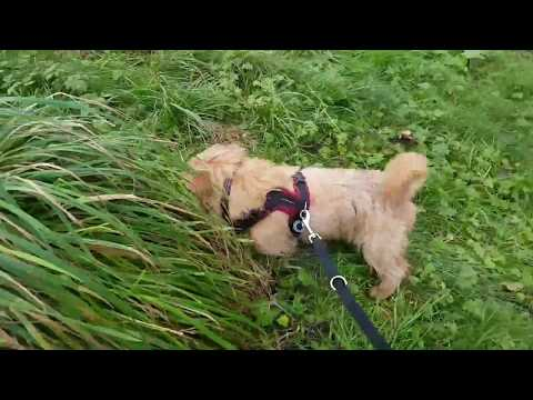 Our Norfolk Terrier the Shrew Hunter