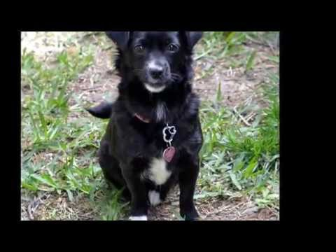 Adoptable Chihuahua/Pomeranian mix, Bella