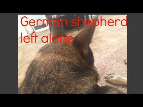 Anxious German shepherd left home alone