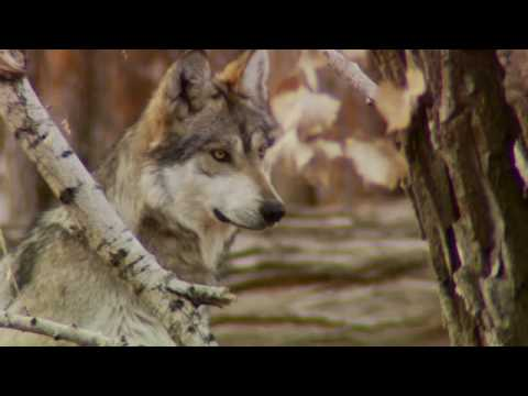 Saving the Mexican Gray Wolf