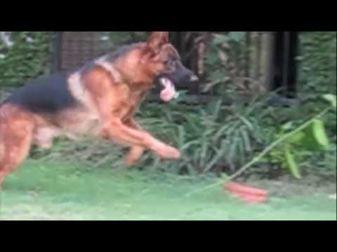Beautiful German Shepherd in slow motion