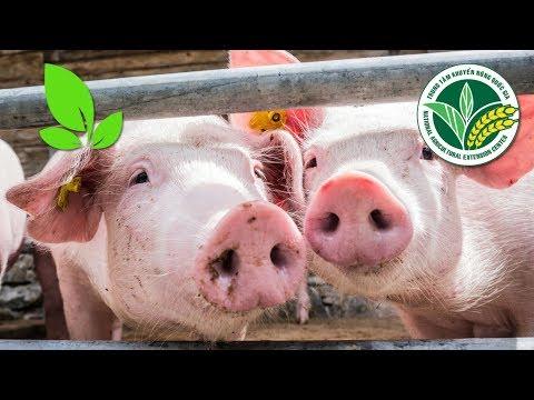 Dịch tả lợn Châu Phi: Triệu chứng bệnh và cách chữa trị I VTC16