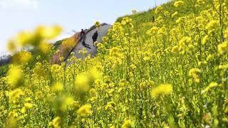一面の黄色 ひとあし早く春実感 千葉・マザー牧場