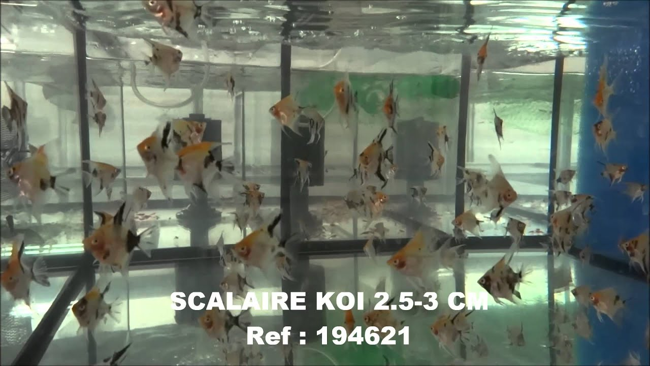 S lection semaine 4 comptoir du poisson exotique 2014 youtube - Comptoir poisson exotique ...