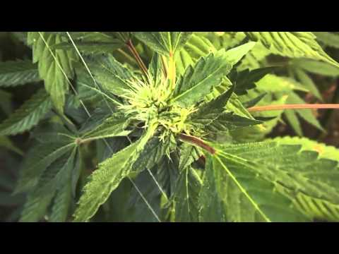 Marijuana Plants 4th Week of Flowering