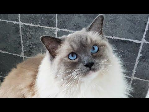 Morning Ragdoll Cat Meows