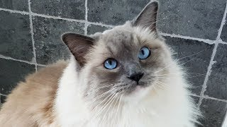 Morning Ragdoll Cat Meows