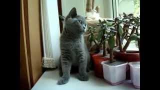 """ПРОДАЖА британских котят из питомника британских кошек """"Шантерель"""" г. Ессентуки www.shanterel.ru"""