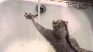 Лемур лори пытается ухватиться за воду
