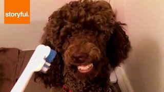 Poodle Gets Very Excited By Toothbrush