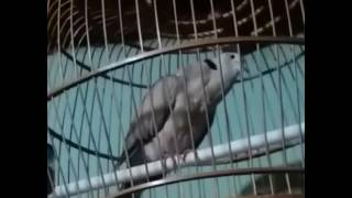vuclip Masteran Puter Pelung Gacor Trah Sampoerna Dian BirdFarm Solo