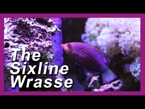 SIX LINE WRASSE Reef Tank Pest Control!