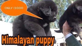 Himalayan dogs sell in muktasr fair 2019