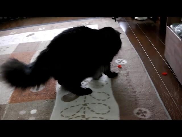カカオ(猫)と風船
