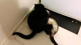 Кот и хорек.