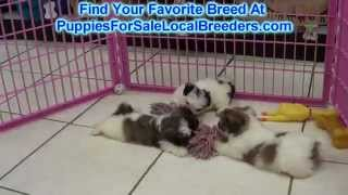 Teddy Bear Puppies For Sale Local Breeders