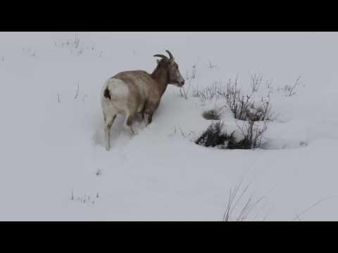 Bighorn sheep maneuvers in deep snow