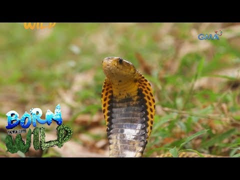 Born to Be Wild: Doc Ferds meets the 'Samar Cobra'