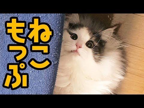 【猫モップ】床を自動で掃除してくれる長毛種お猫さまがあらわれた【はがね先生】